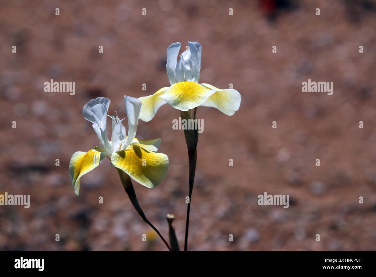 Yellow dwarf spiral-leaved Iris Moraea serpentina Namaqualand South Africa - Stock Image
