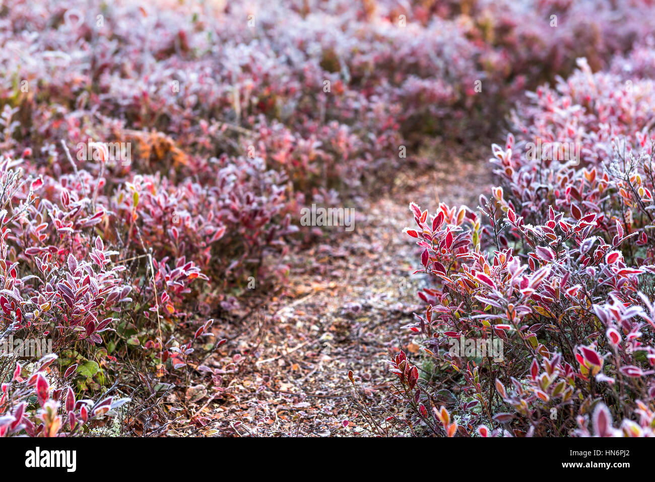 Icy frost on blueberry bush trail path illuminated by morning sunlight at Dolly Sods, West Virginia - Stock Image
