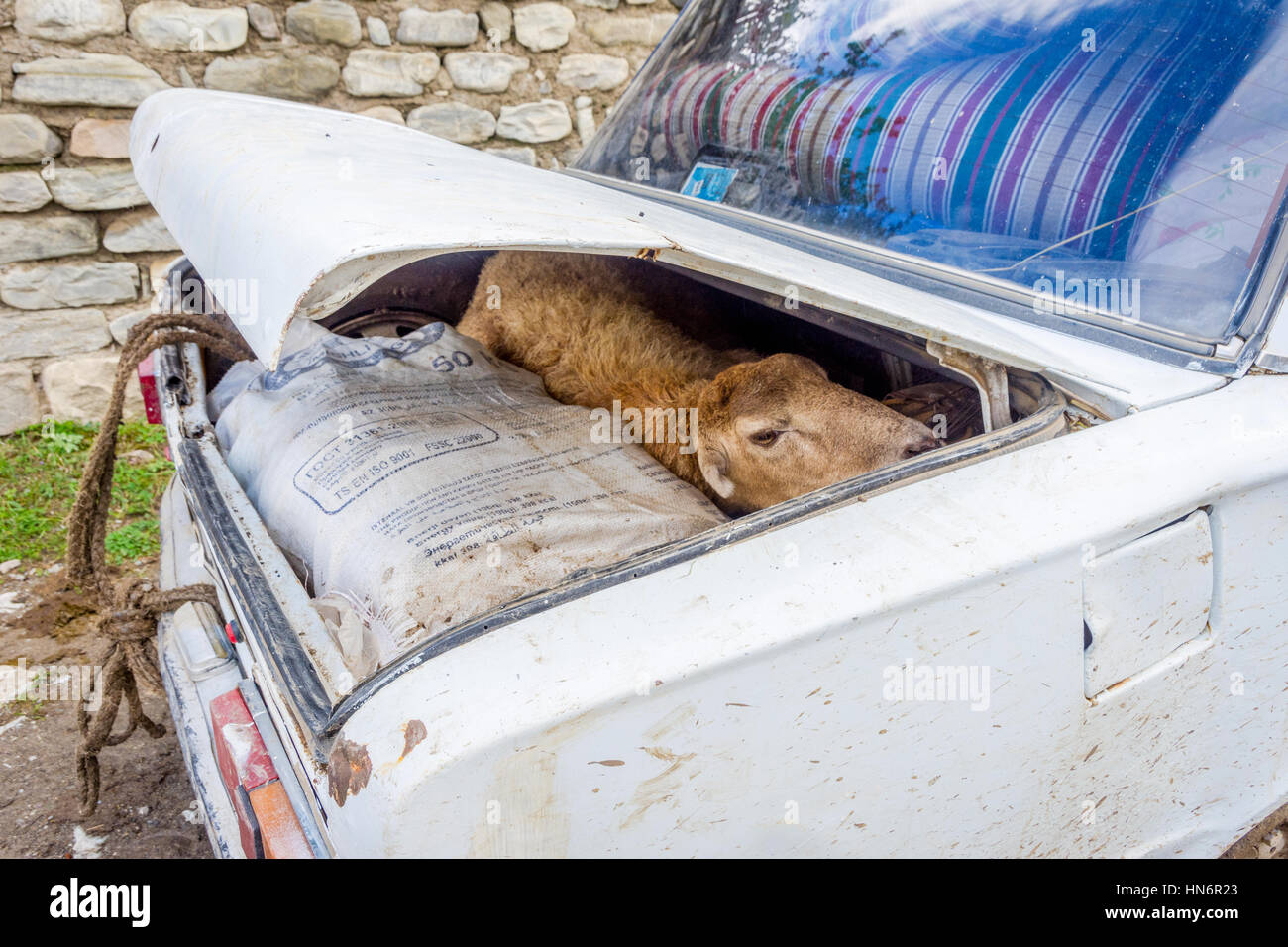Sheep to be transported in the trunk of old lada car in Azeri countryside. - Stock Image
