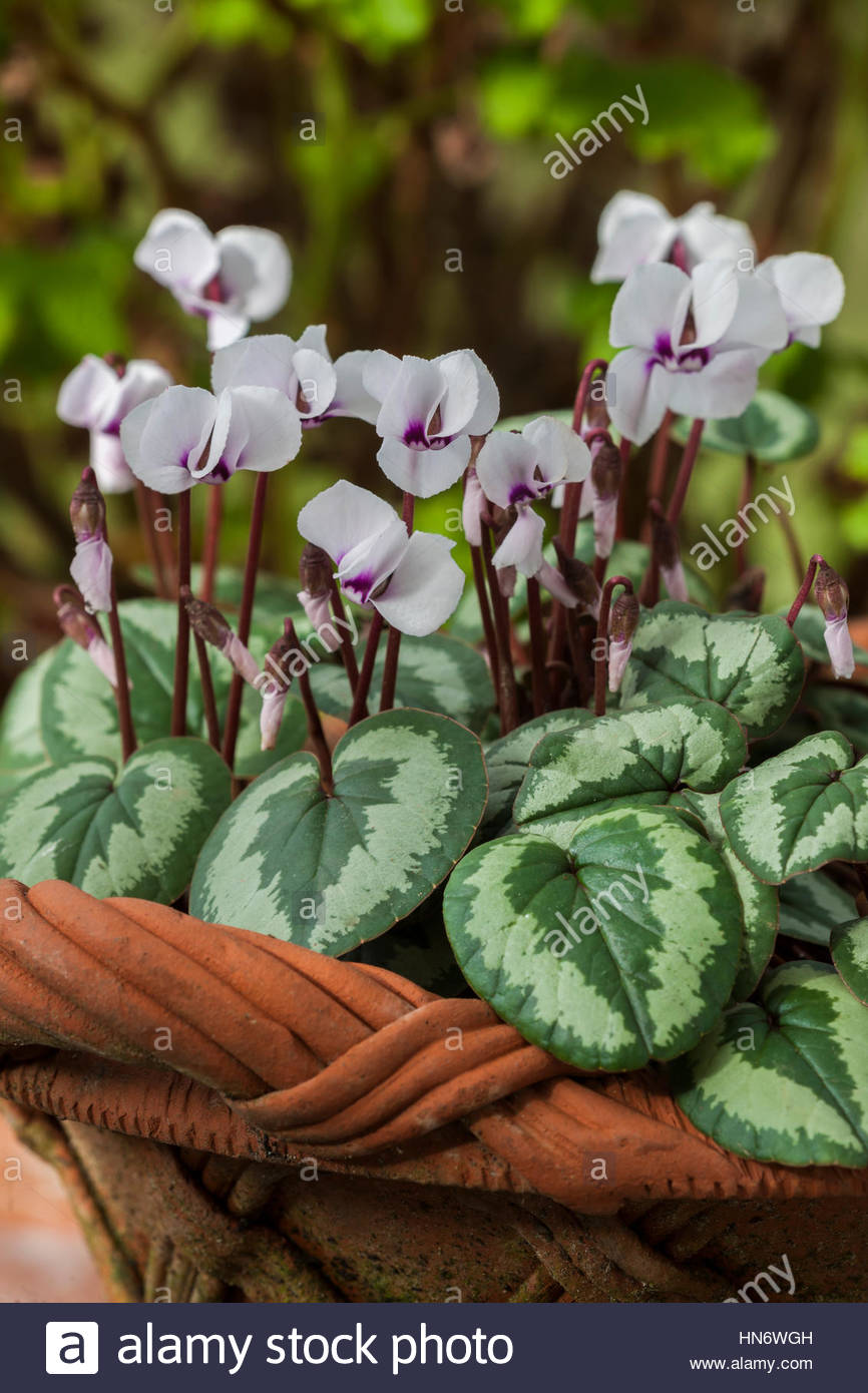 Cyclamen coum selected leaf form winter spring flower perennial corm variegated white blooms blossoms flowers February - Stock Image