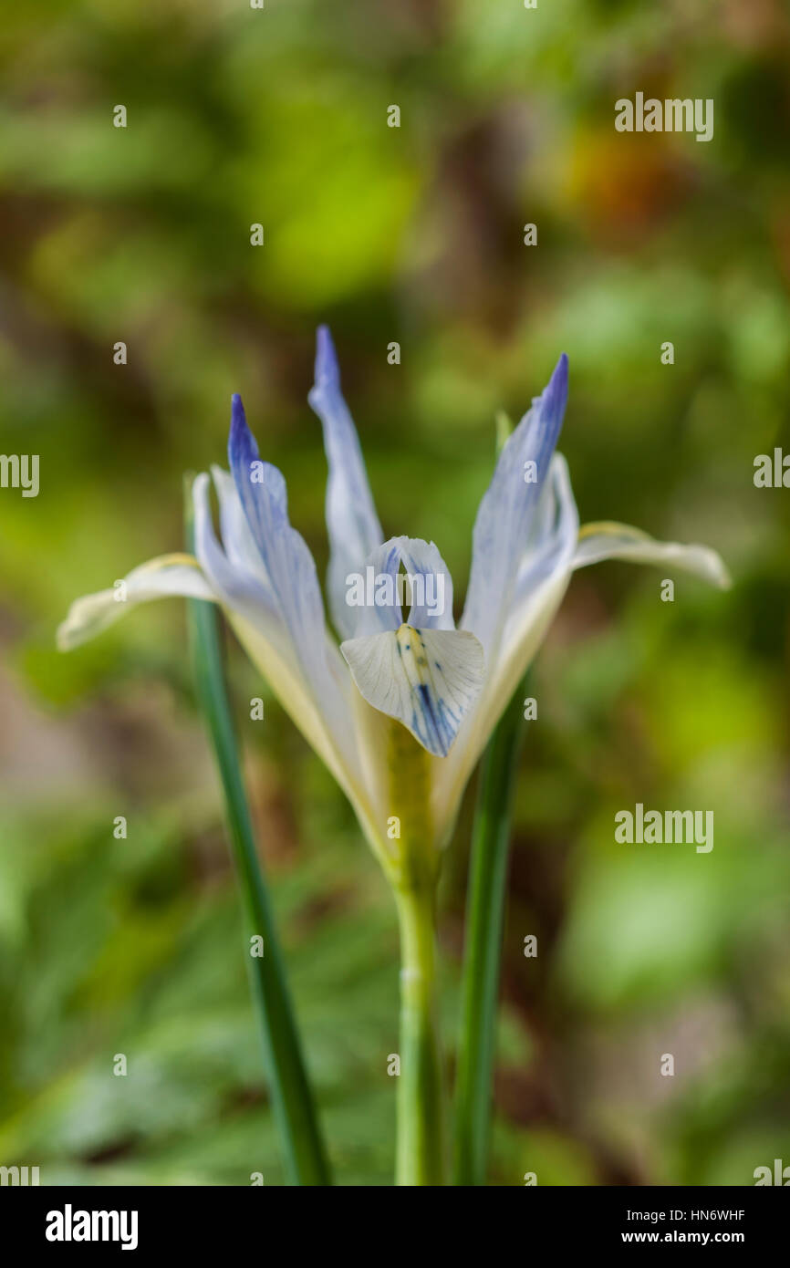 Iris reticulata 'Painted Lady' dwarf flower Spring perennial February bloom blossom border garden plant - Stock Image