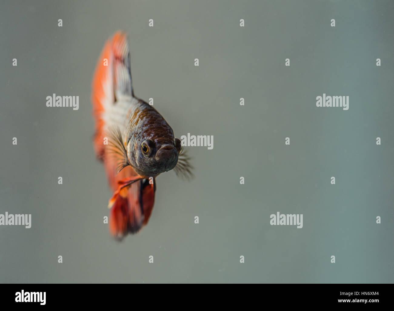 Betta Splendens (Siamese Fighting Fish), male. - Stock Image