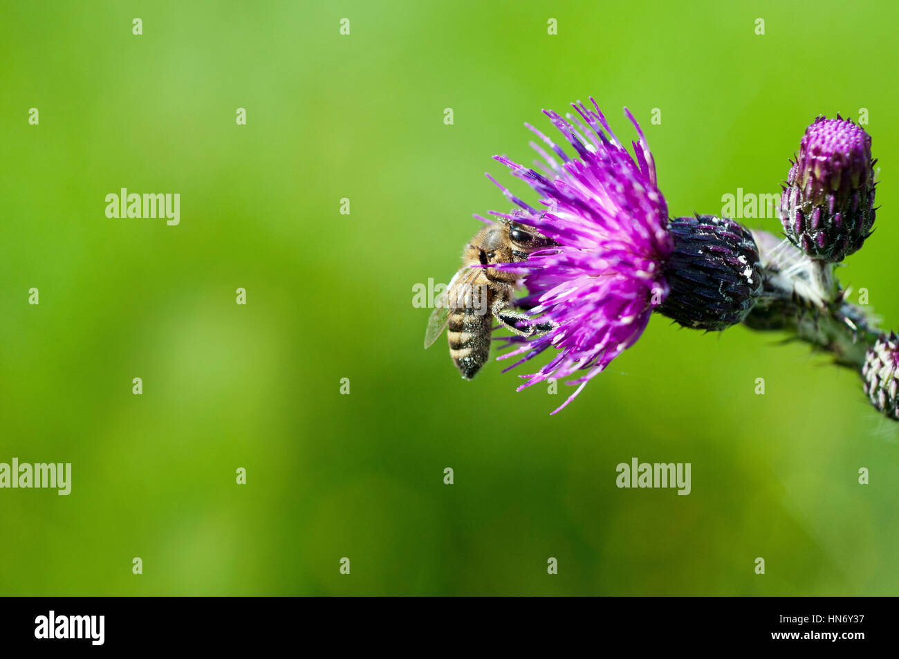 Honey Bee on Marsh Thistle Stock Photo