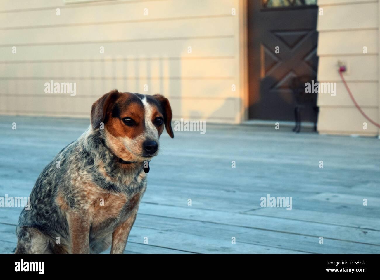 Beagle Mix Stock Photos & Beagle Mix Stock Images - Alamy