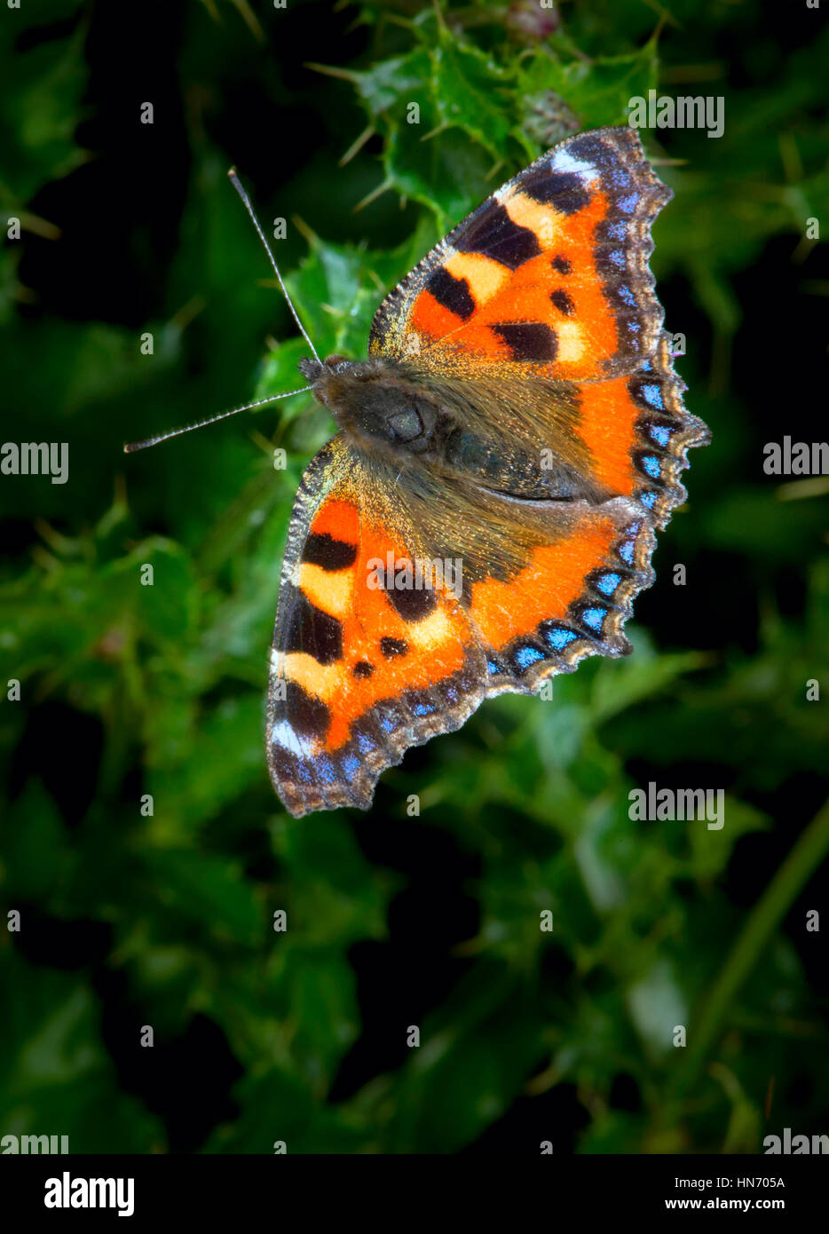 Small Tortoiseshell Butterfly(Aglais urticae) on thistle. - Stock Image