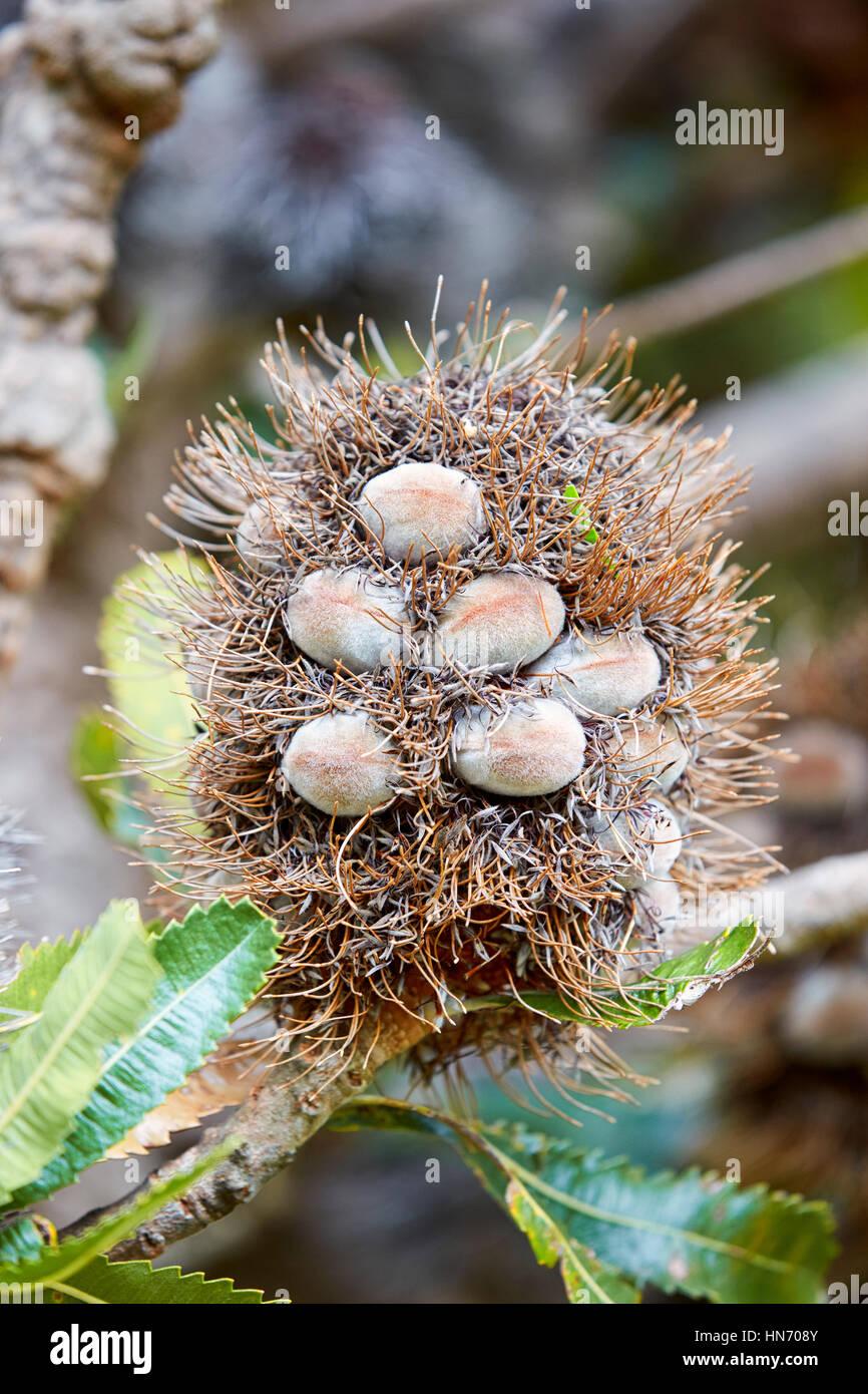 Banksia Serrata, Wellington Botanic Gardens, Wellington, New Zealand - Stock Image