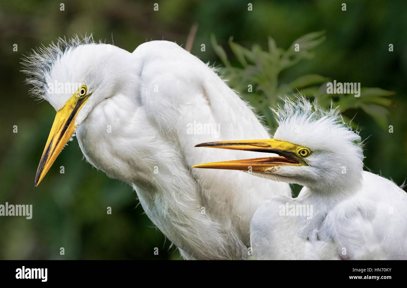 Young  Egrets in the nest waiting to be fed in Orlando Florida. - Stock Image