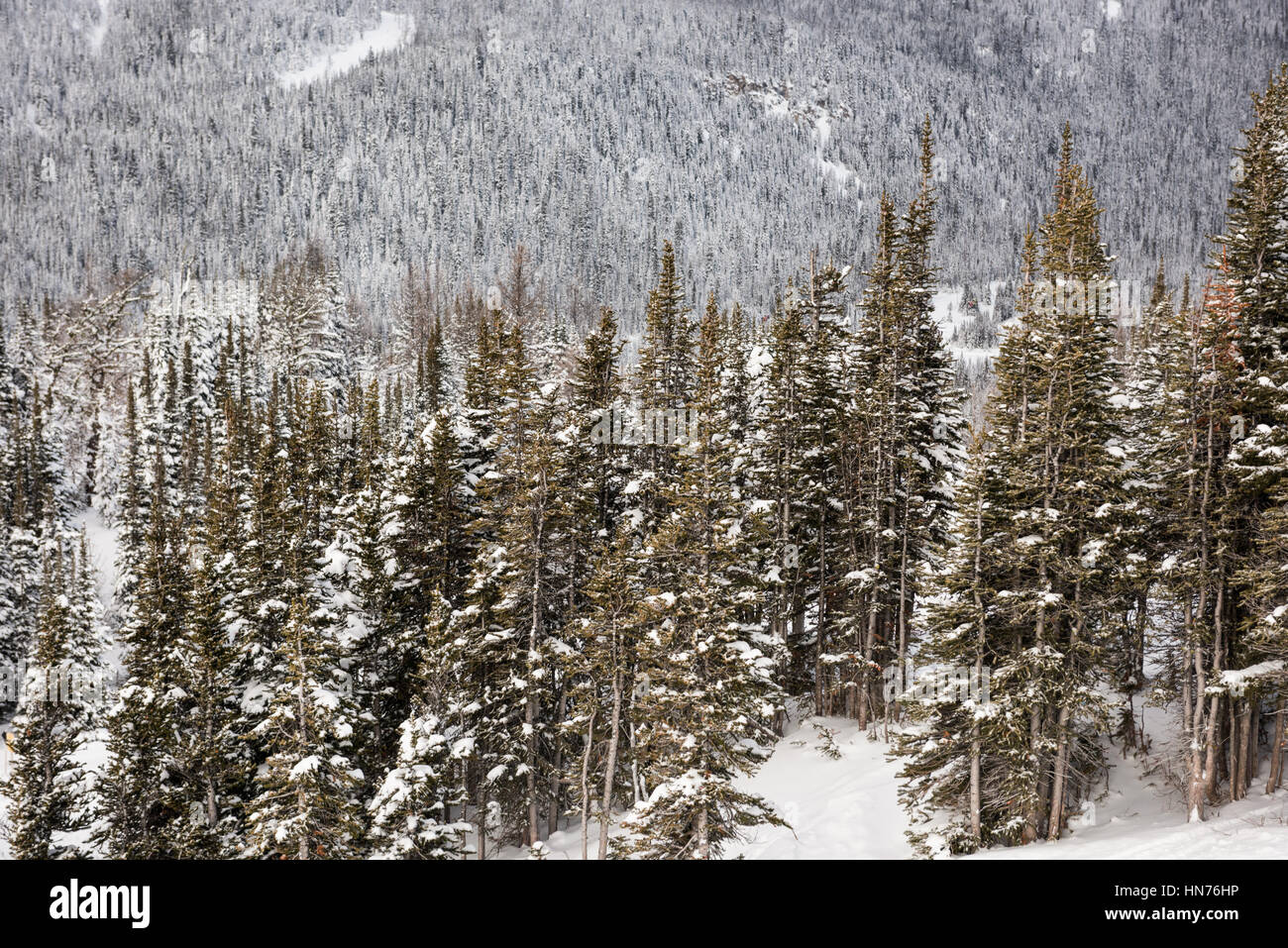 Snowy pine trees on the alp mountain slope during winter - Stock Image