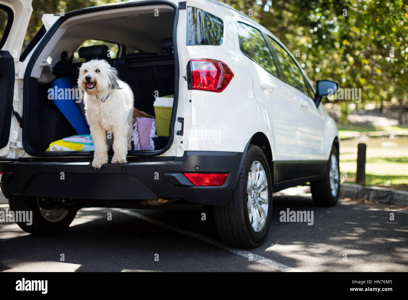 Pet in car trunk at park - Stock Image