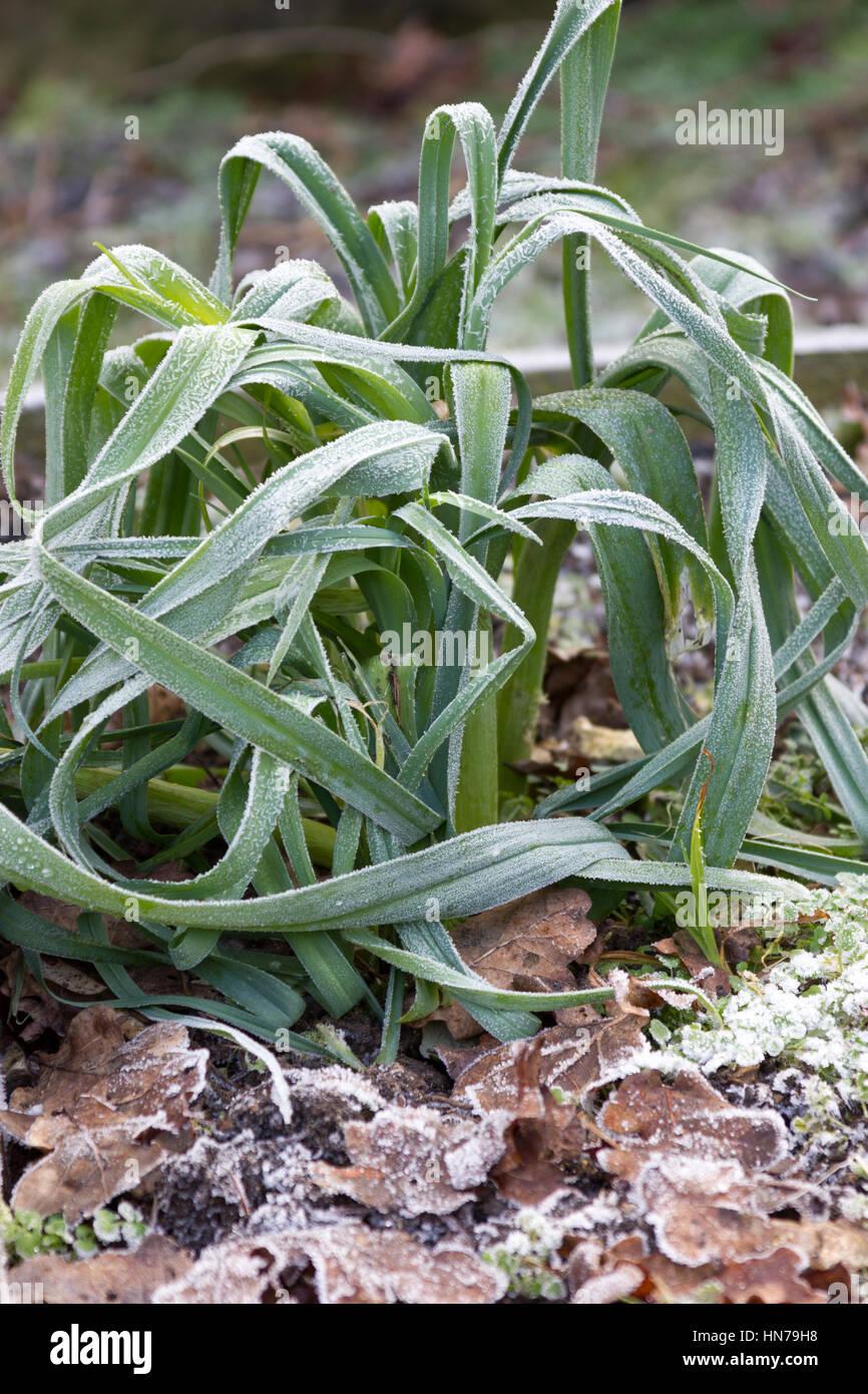 Frozen leek plants in a vegetable garden - Stock Image