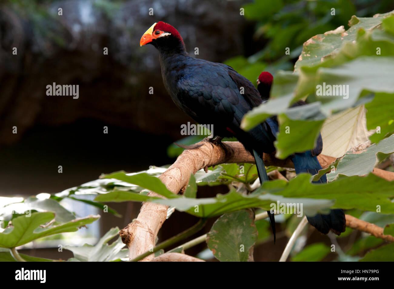 black bird with orange beak and red and yellow head stock photo