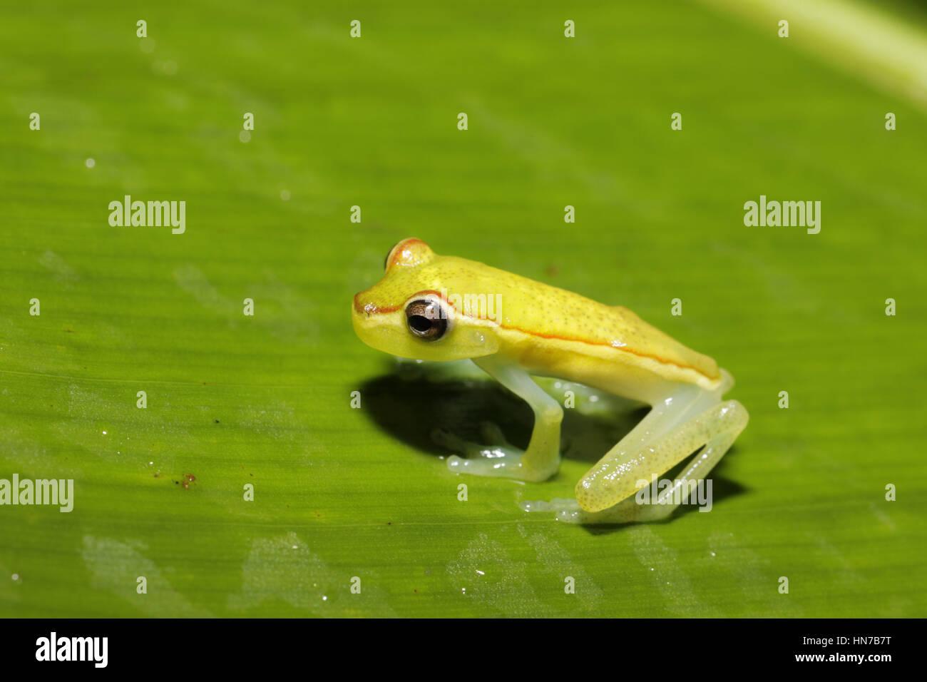 Canal Zone Tree Frog, Hypsiboas rufiletus, at night - Stock Image
