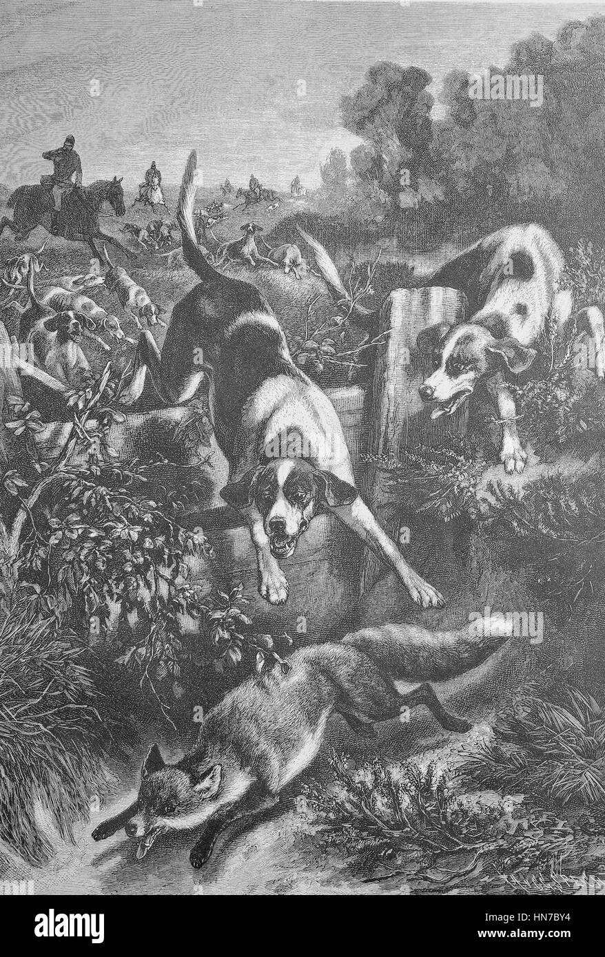 Fox hunting with hunting dogs, Fuchsjagd mit Jagdhunden, woodcut from 1885, digital improved - Stock Image