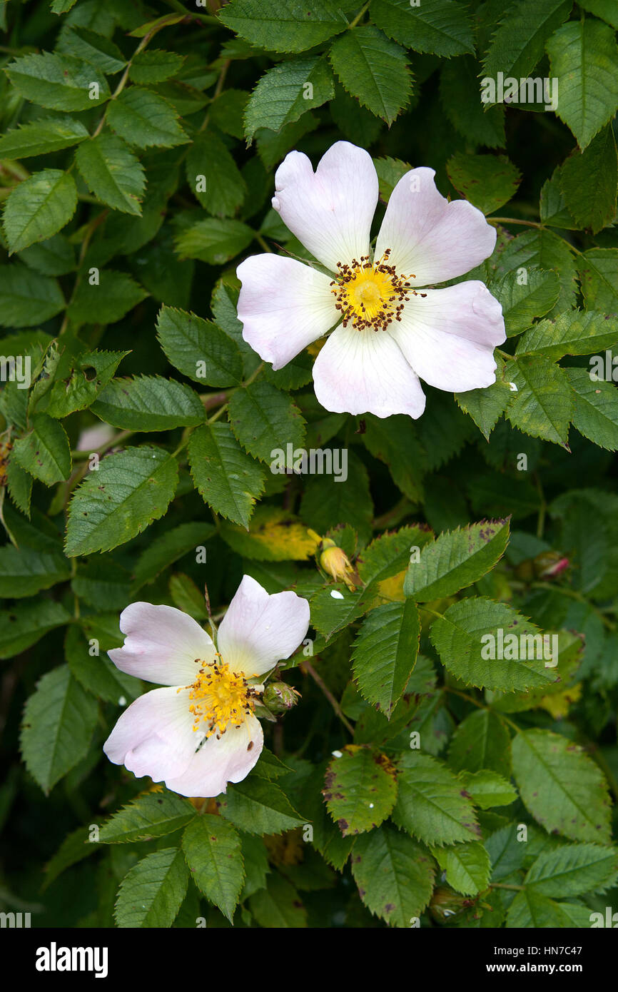 English dog rose bloom - Stock Image