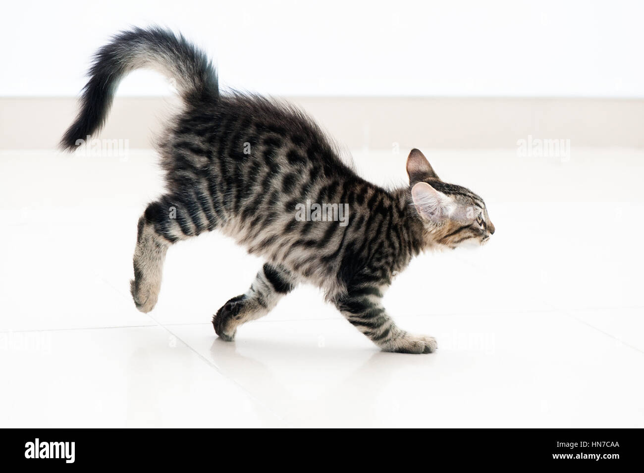 Tabby kitten running - Stock Image