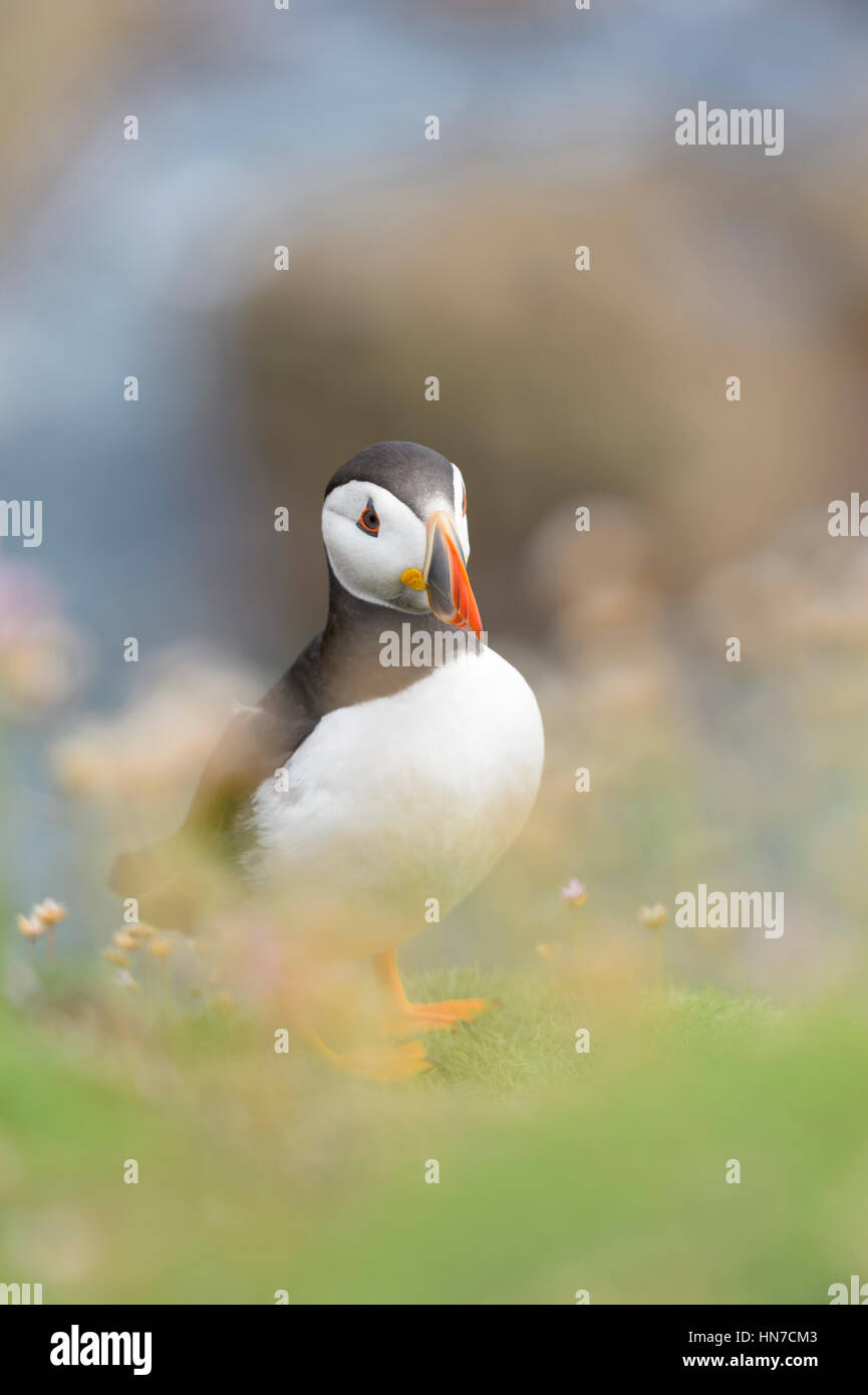 Atlantic Puffin (Fratercula arctica) adult, standing at coastal cliff amongst flowering sea thrift, shallow depth - Stock Image