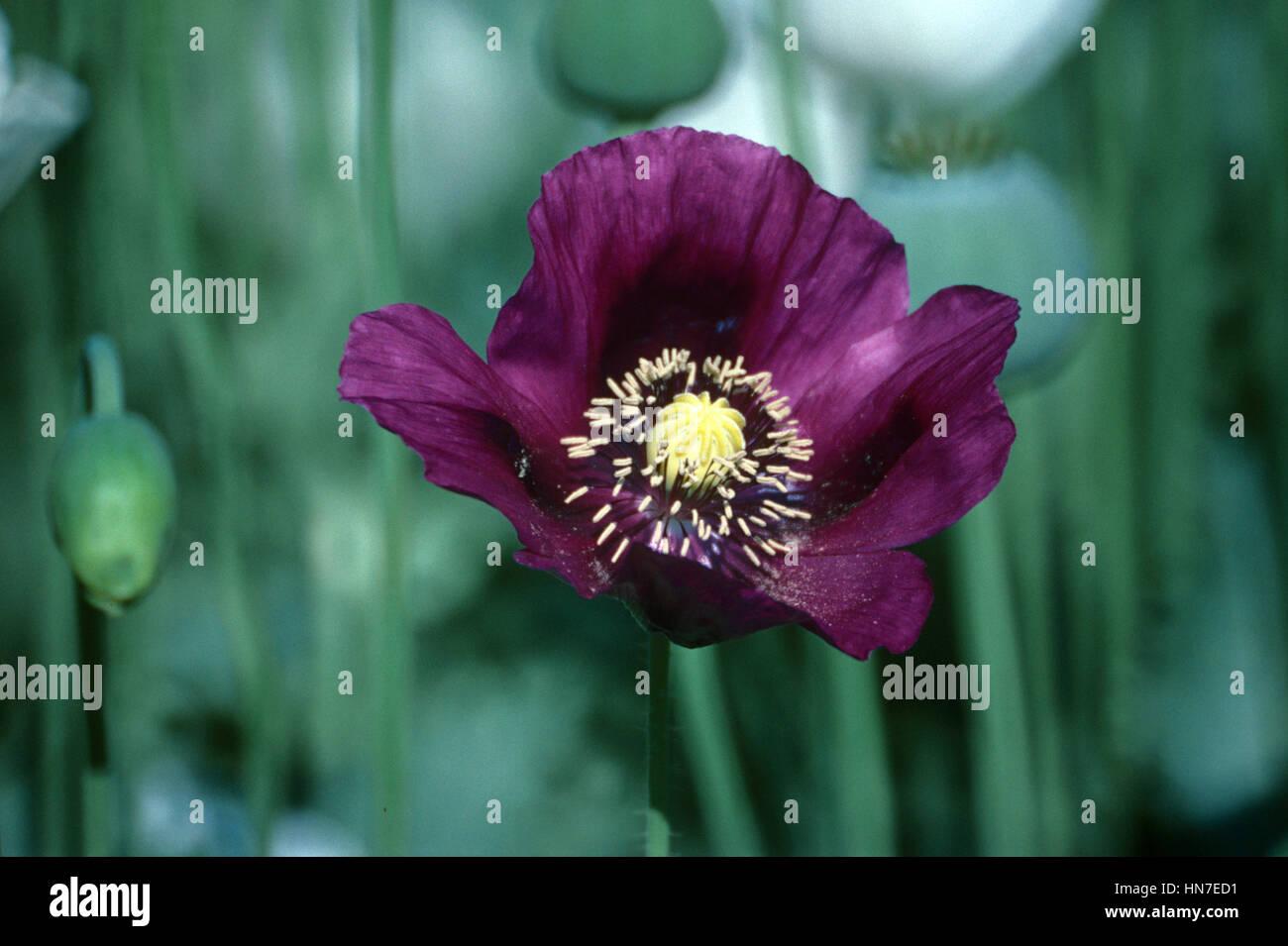 Purple opium poppy flower papaver somniferum and field of opium purple opium poppy flower papaver somniferum and field of opium poppies turkey mightylinksfo