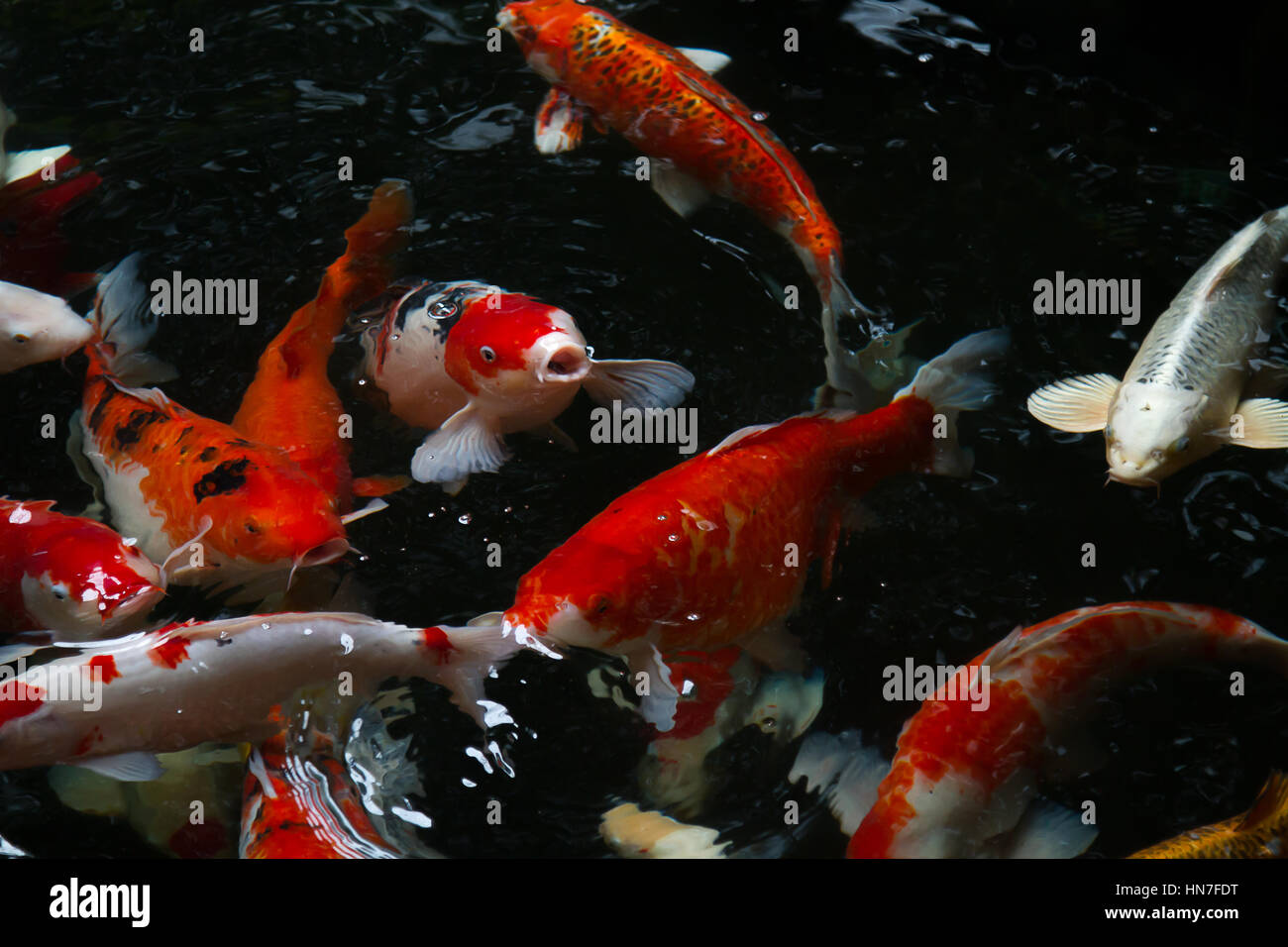 Japan fish call Carp or Koi fish colorful swimming in the pond Stock ...