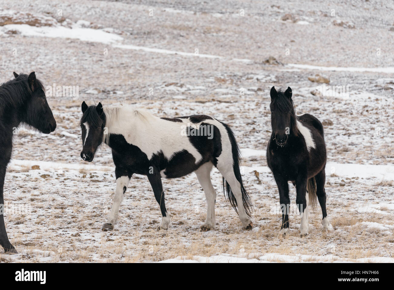 Horses in the snow-covered steppe. - Stock Image