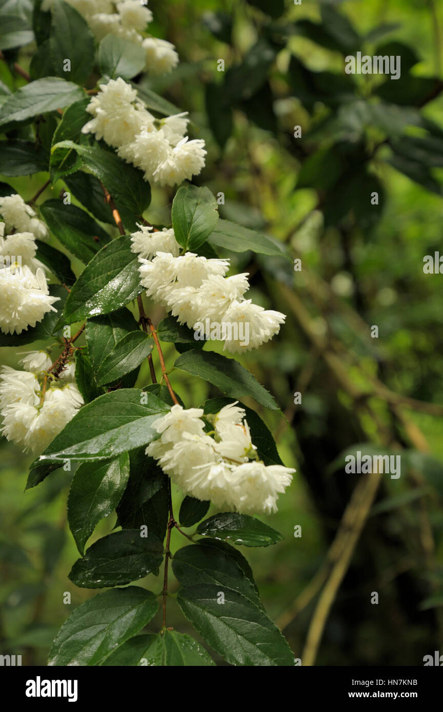 Philadelphus cultivar 'virginalis group' - Stock Image