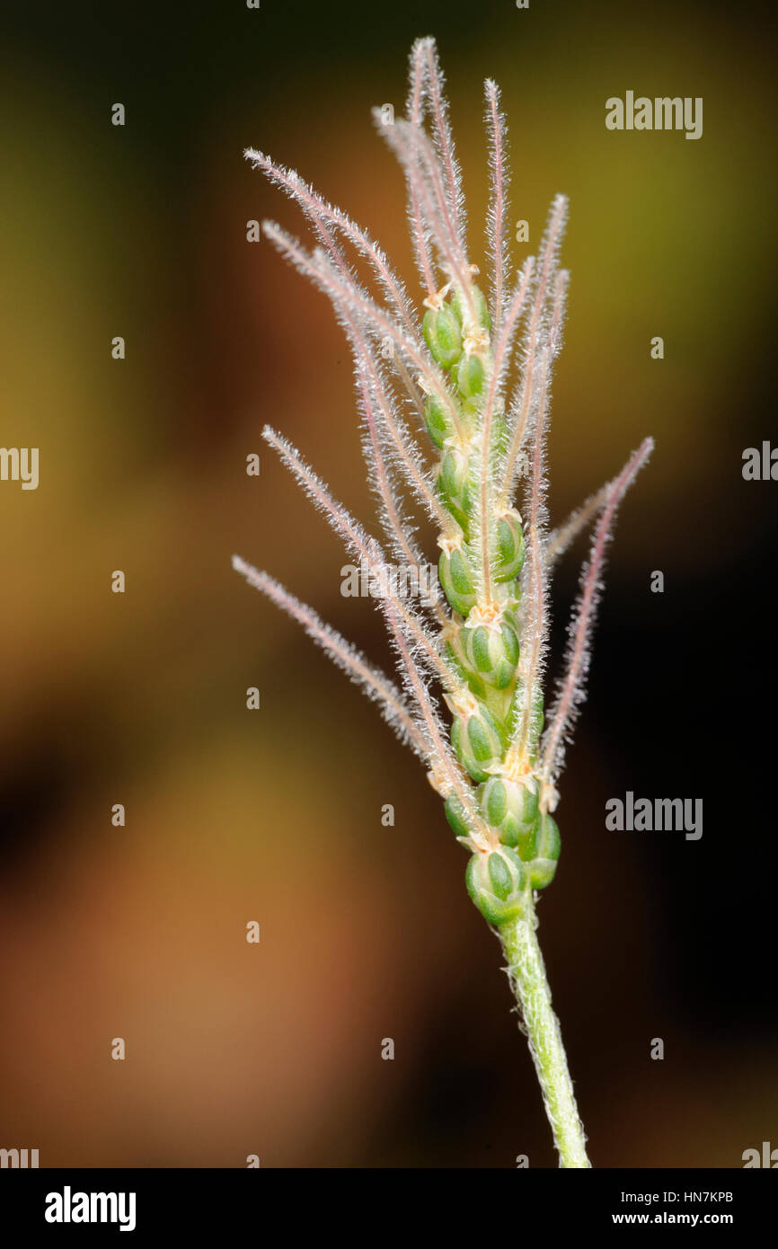 Buck's-horn Plantain, Plantago coronopus, Flower with styles but before anthers emerge - Stock Image