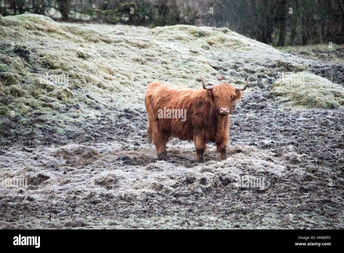 Highland cattle standing in a frozen muddy field or paddock on  rural isolated farm near Moel-y-Crio in Flintshire, - Stock Image