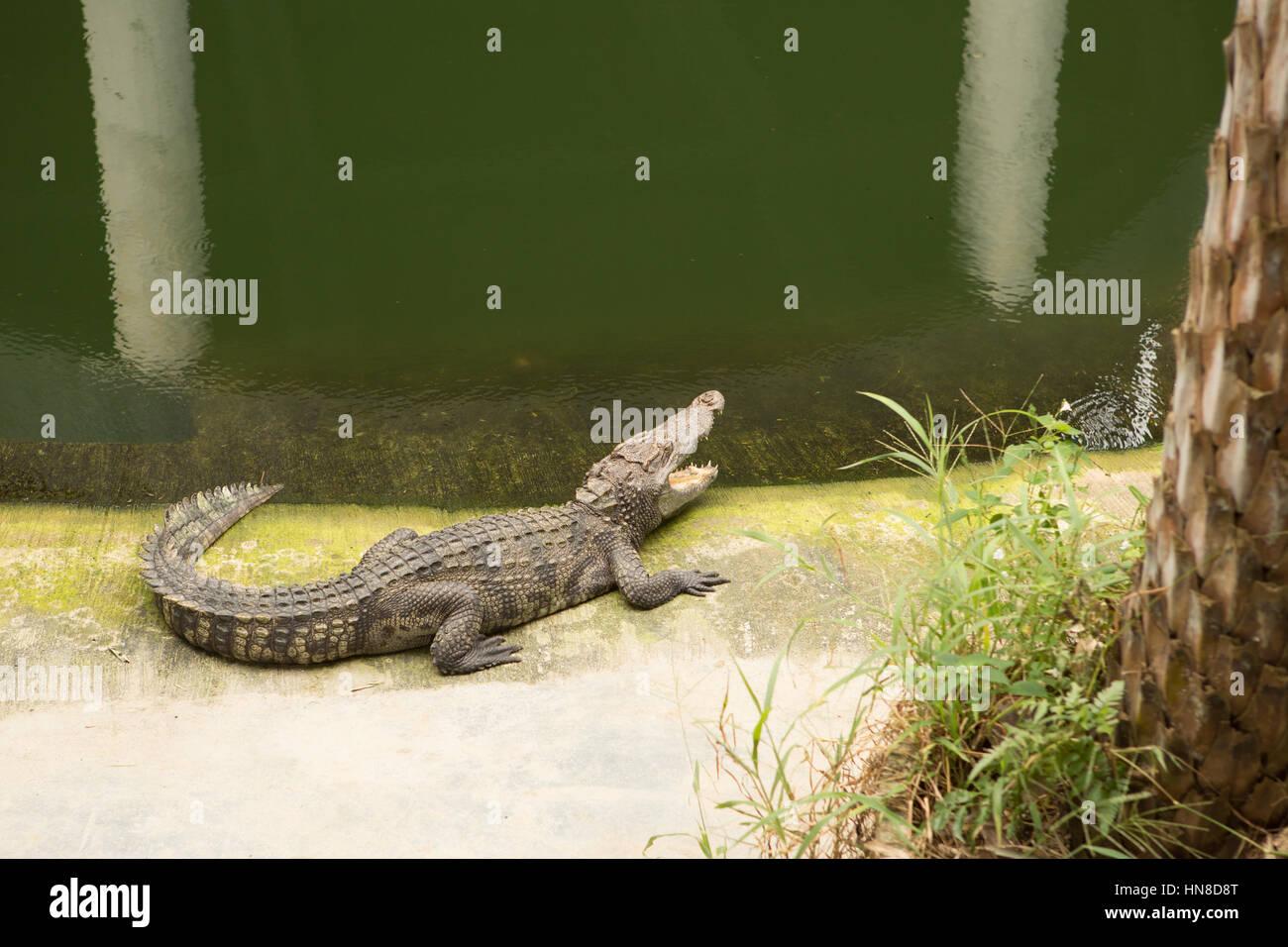 THAILAND Crocodile Farm and Zoo - Stock Image