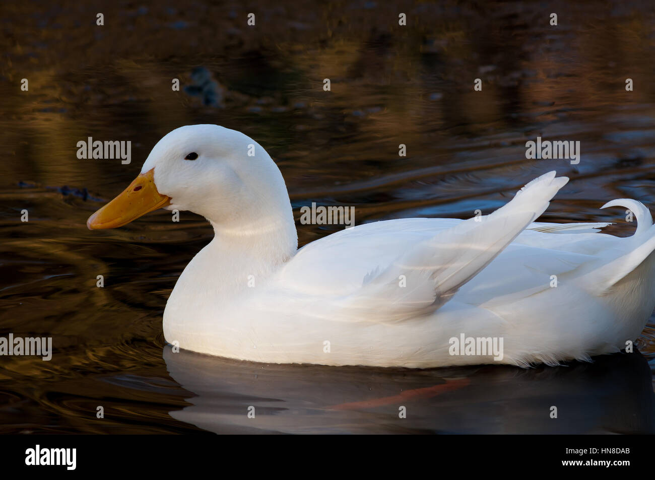 White duck swimming in a pond in Britain. - Stock Image