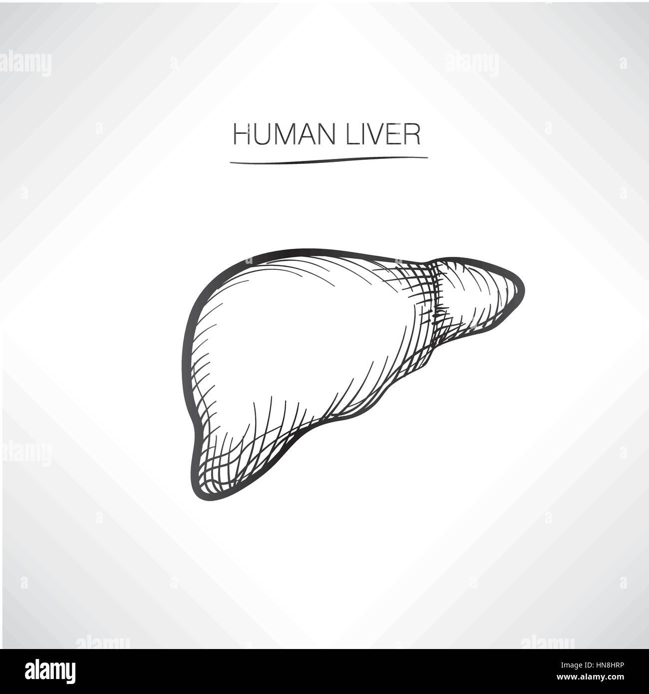 Human liver iolated. Internal organ icons sketch - Stock Image