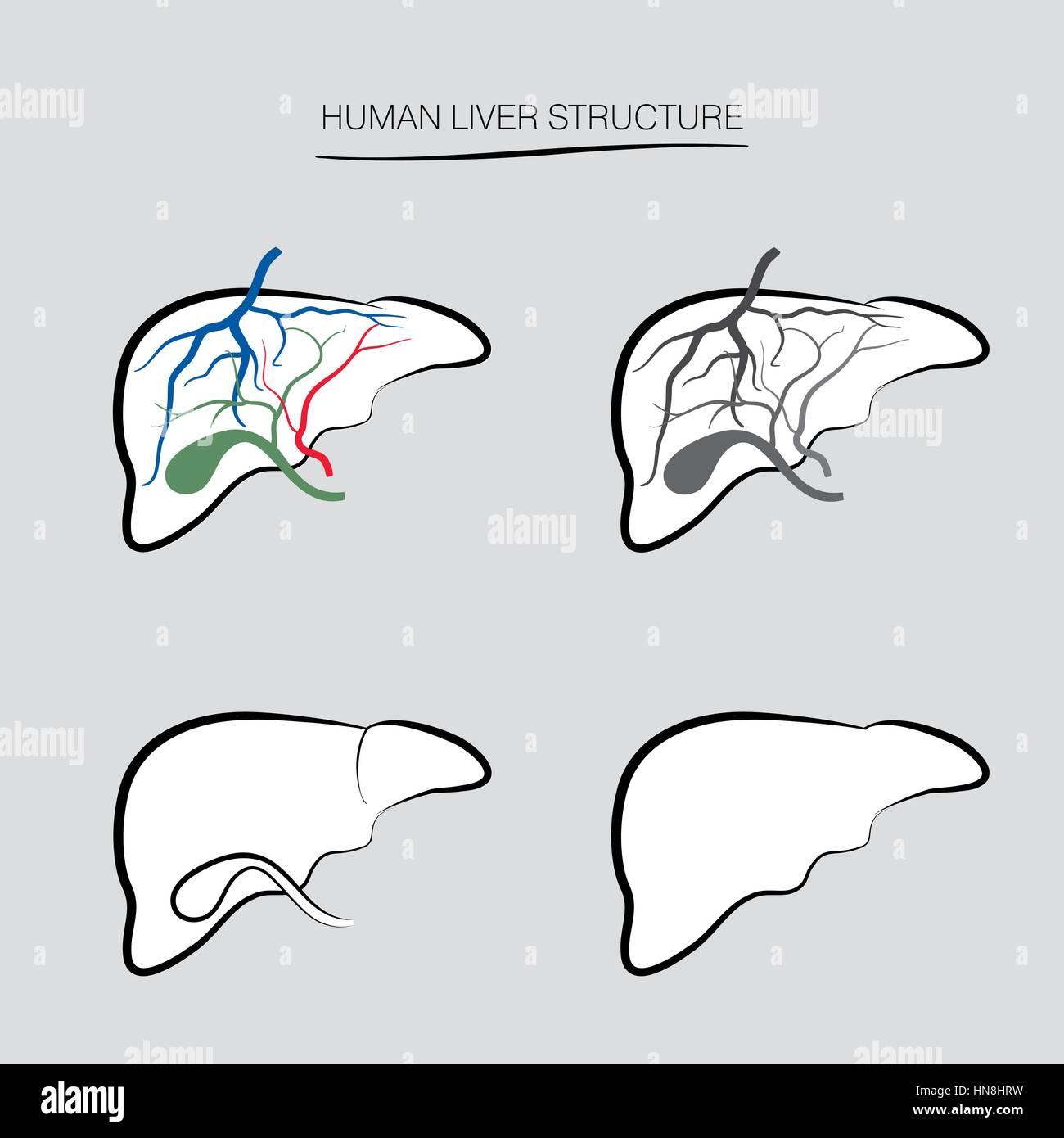 Human liver structure. Human internal organ icons set - Stock Image