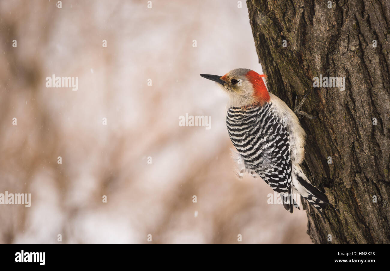 The female red bellied woodpecker can be found on the barks of medium trees cracking open seeds. - Stock Image