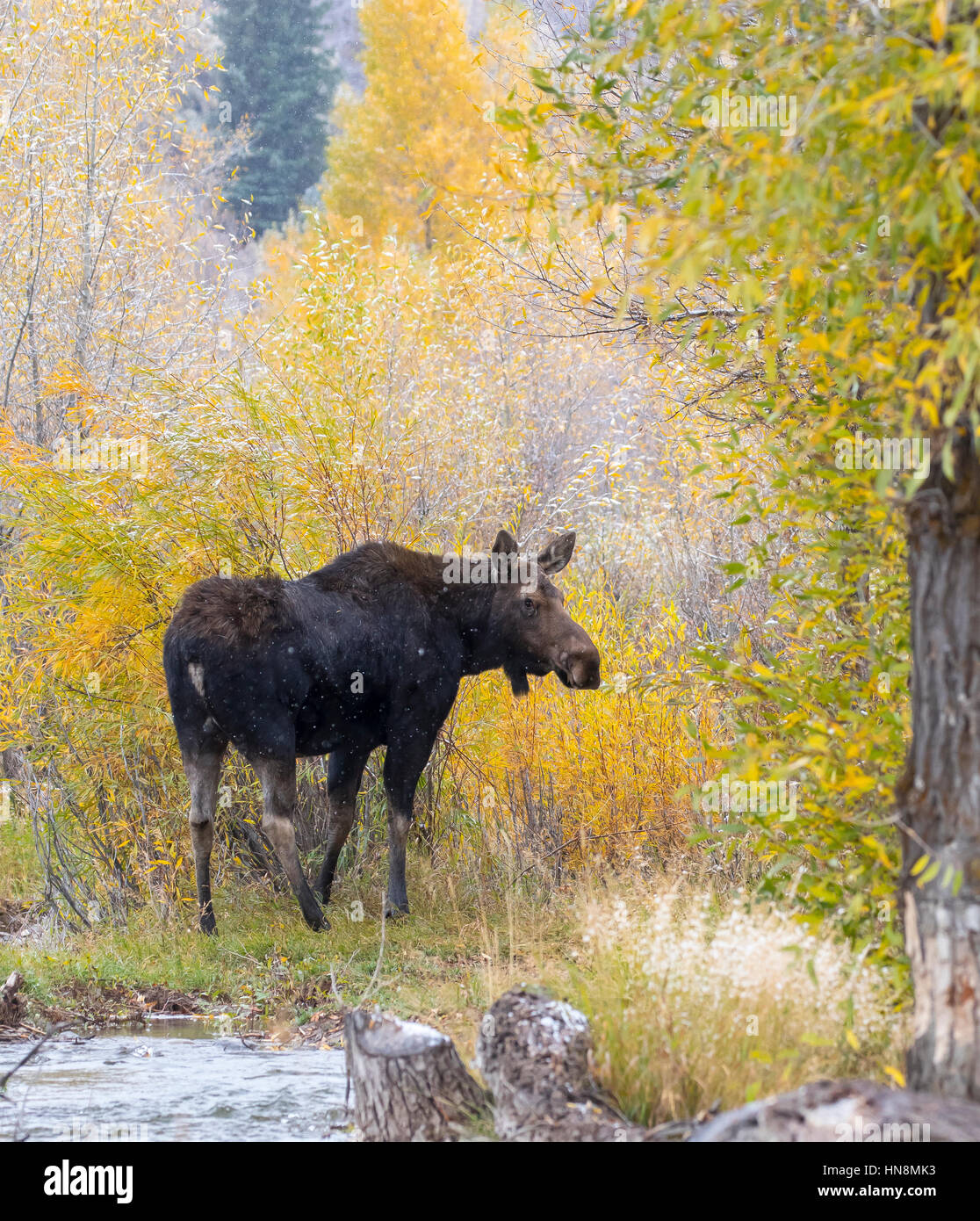 Cow moose next to river with intense fall colors - Stock Image