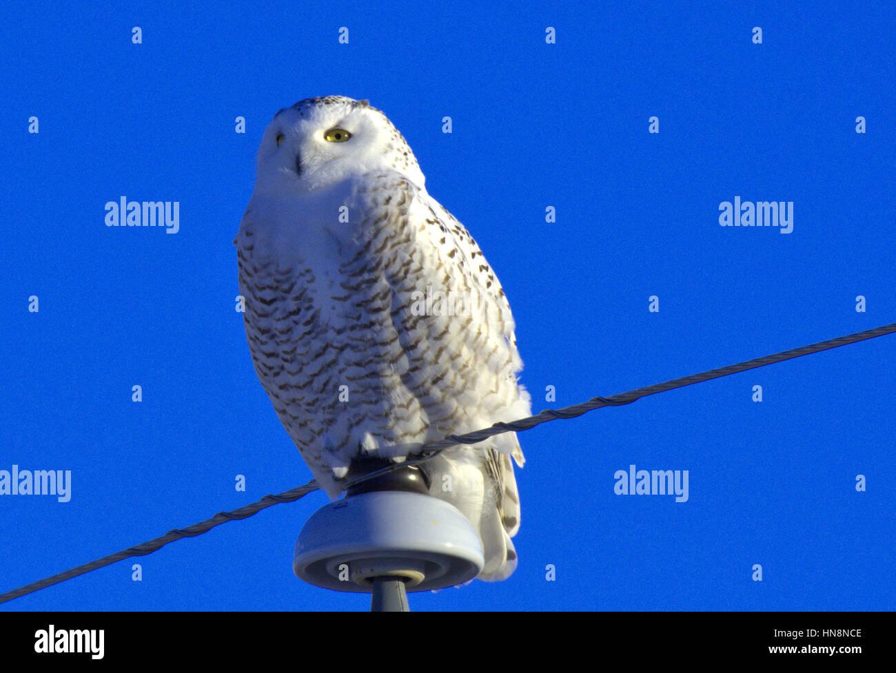 Stoic Snowy Owl - Stock Image