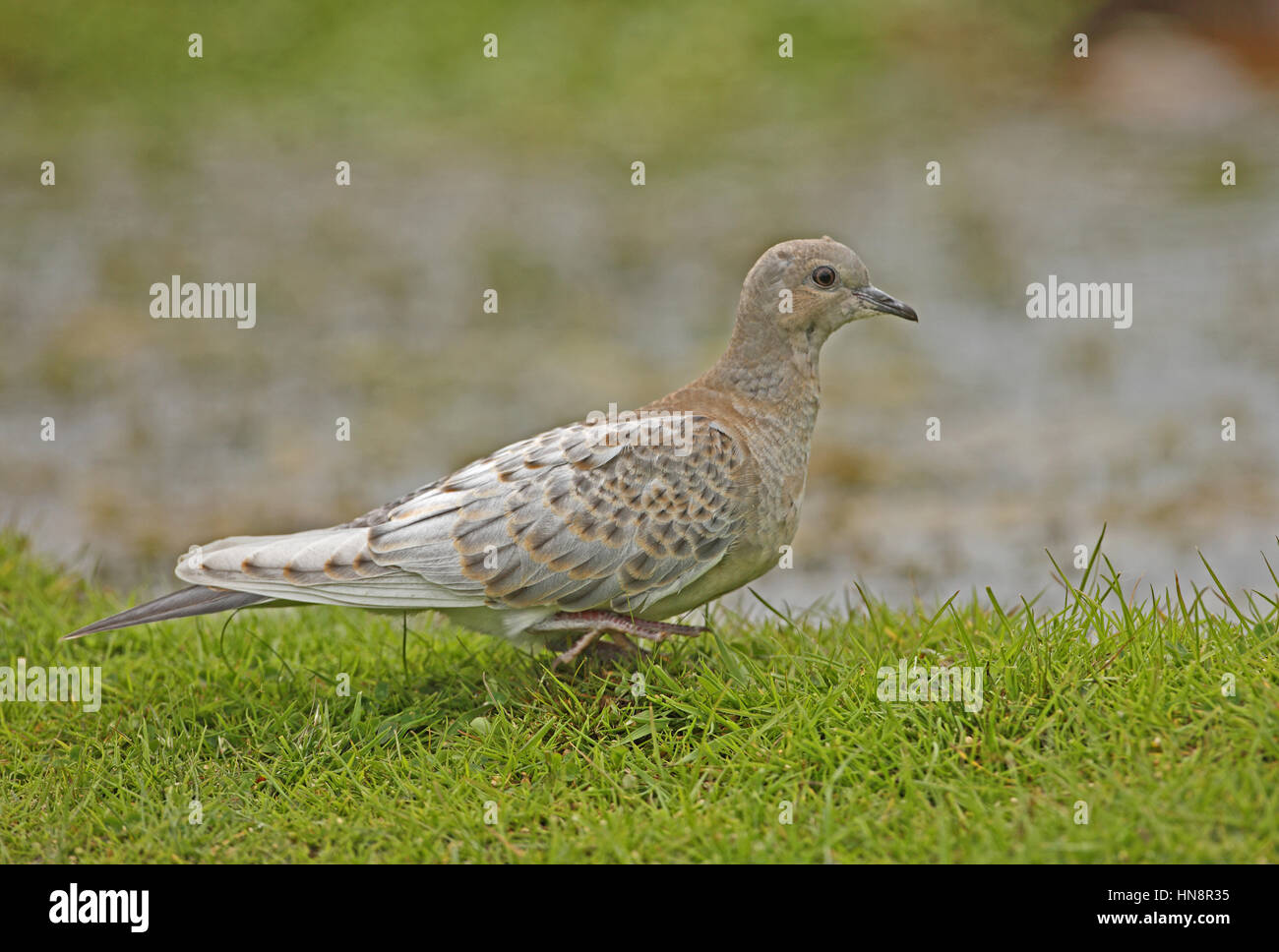 Eurasian Turtle-dove (Streptopelia turtur) adult leucistic juvenile at waters edge  Eccles-on-sea, Norfolk,  July - Stock Image