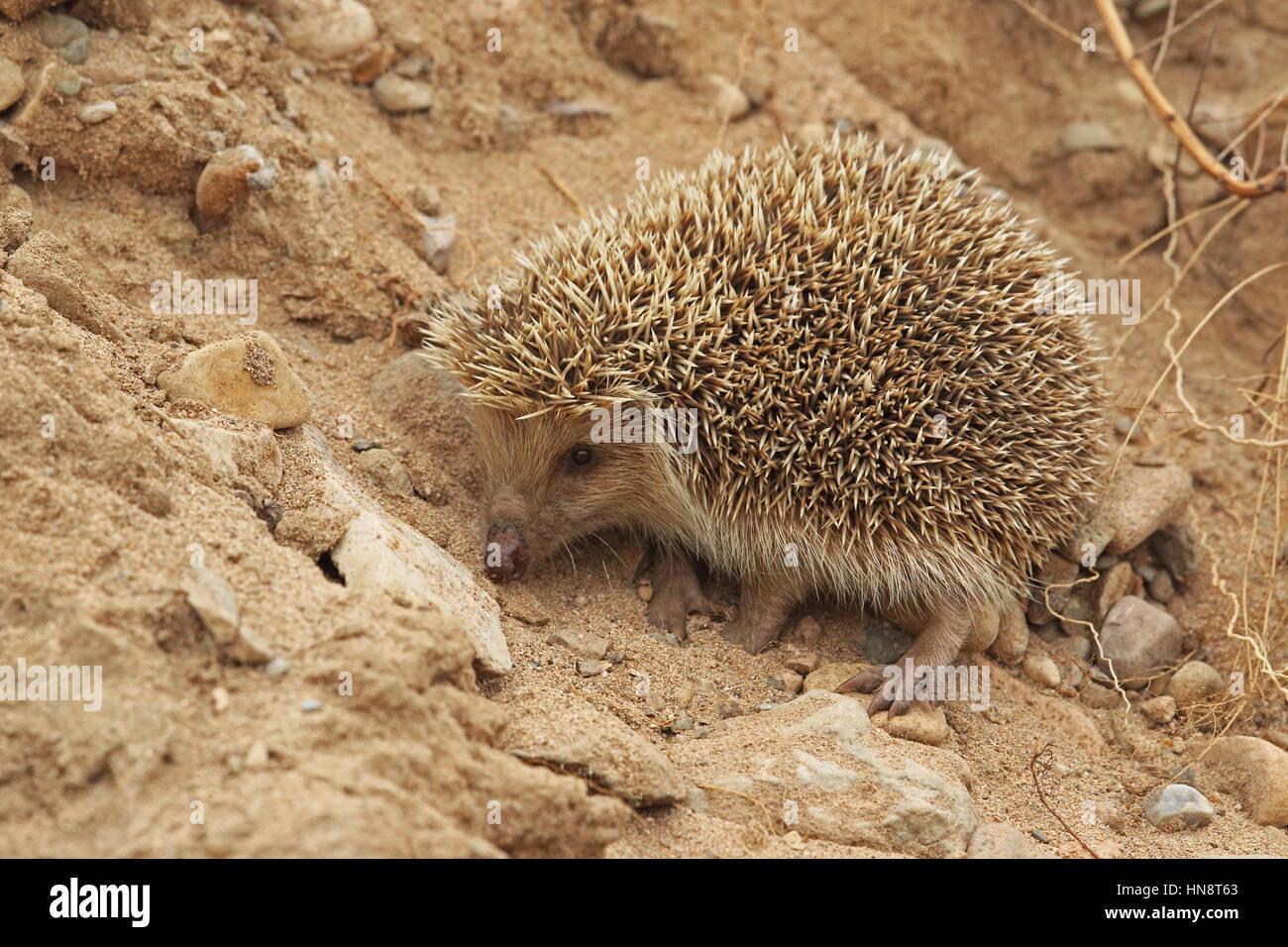 Amur Hedgehog (Erinaceus amurensis) adult cllimbing earth bank  Beidaihe, Hebei, China   May - Stock Image