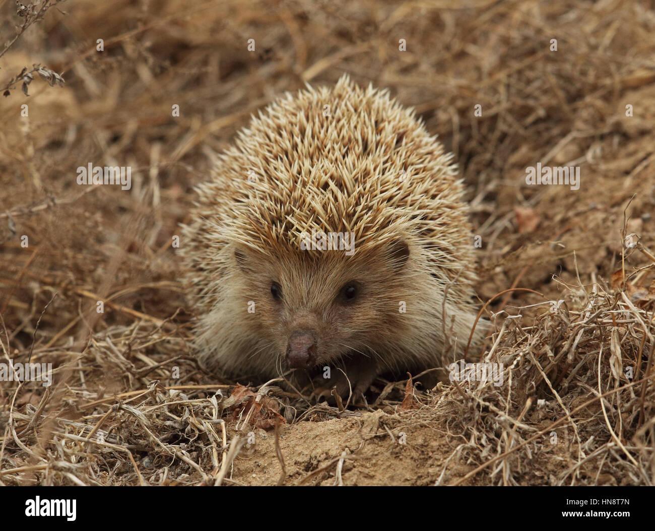 Amur Hedgehog (Erinaceus amurensis) adult on dry ground  Beidaihe, Hebei, China   May - Stock Image