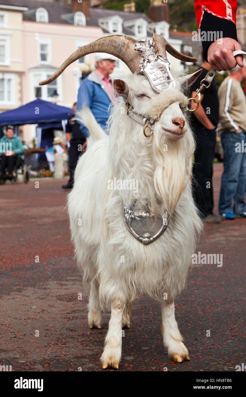 Llandudno, Wales - July 10, 2011: William Windsor Kashmir goat and retired Lance Corporal of the 1st British Army Stock Photo