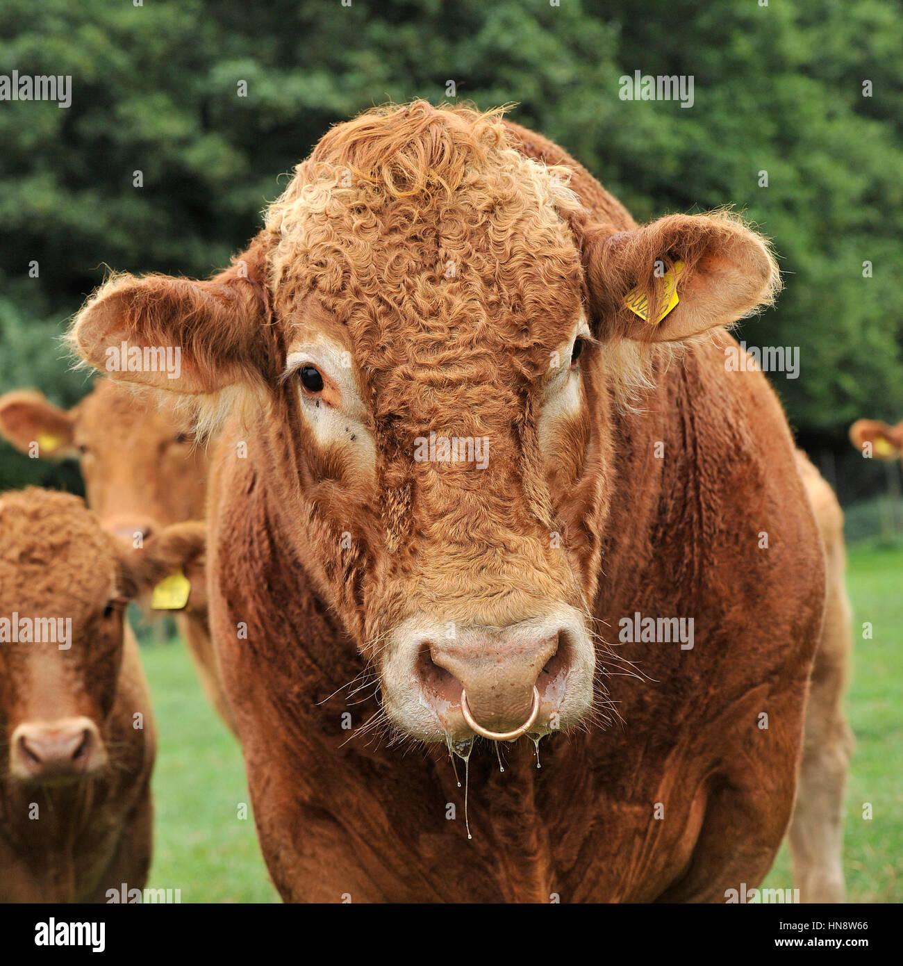 pedigree south devon cattle - Stock Image
