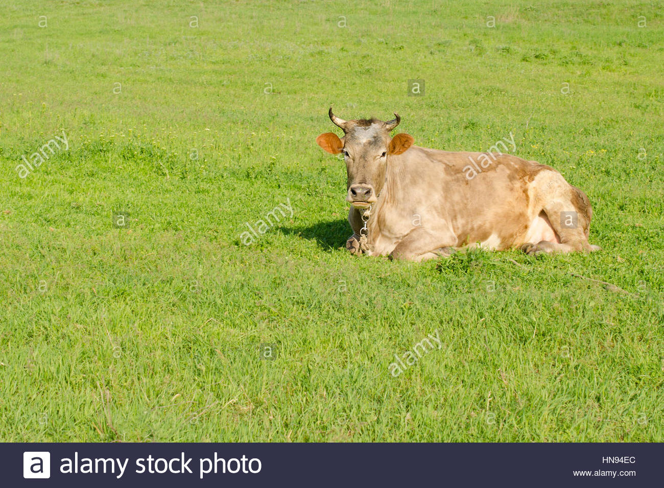 Light brown cow lying on the green grass on a spring meadow - Stock Image