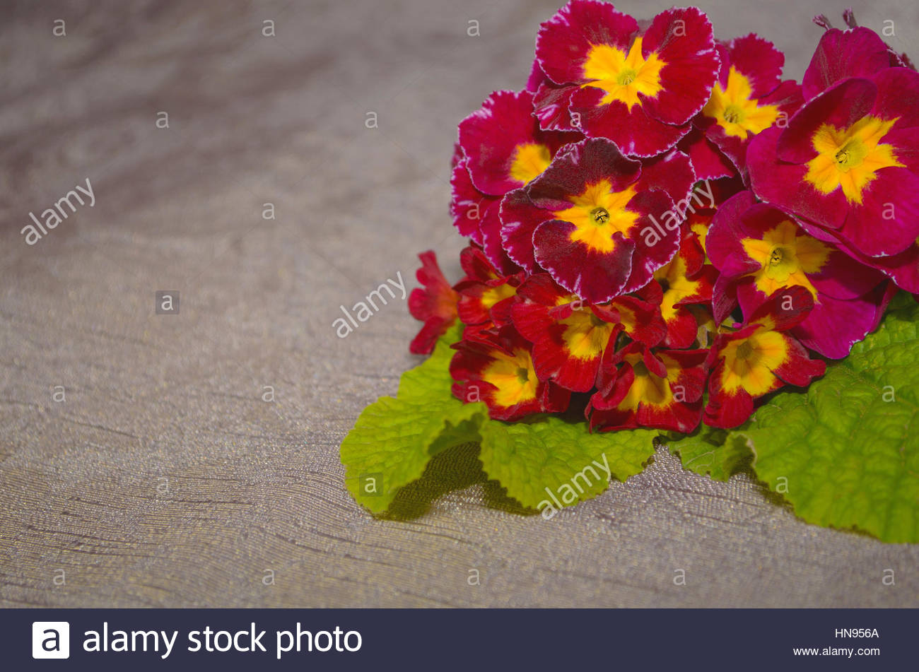 maroon flowers primrose on a brown background - Stock Image