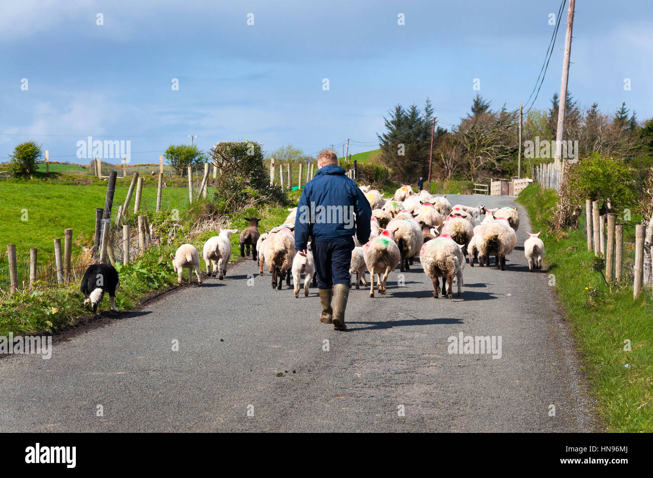 Sheep farmer with flock on road in County Donegal, Ireland - Stock Image