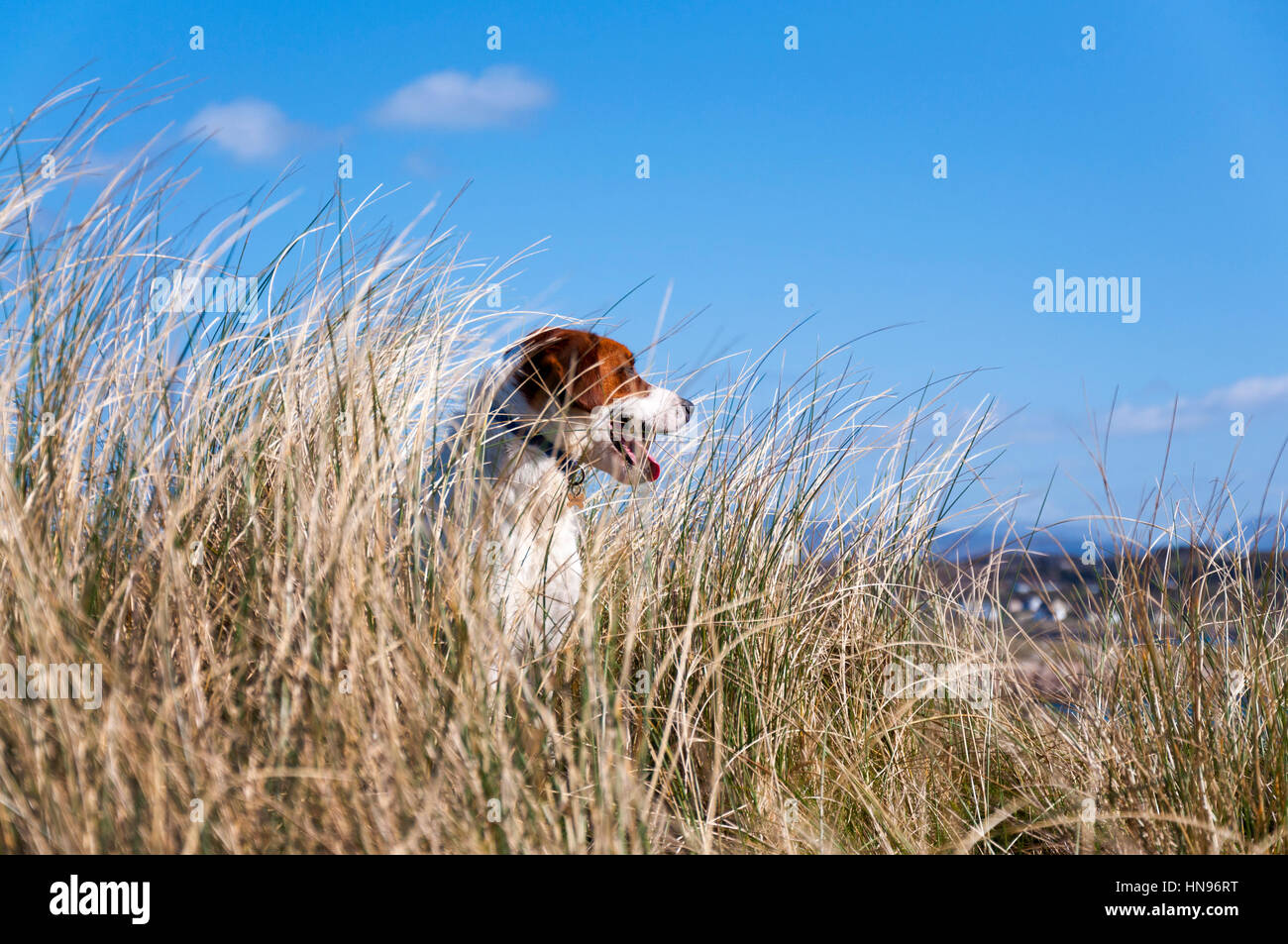 Dog on the beach with marram grass - Stock Image
