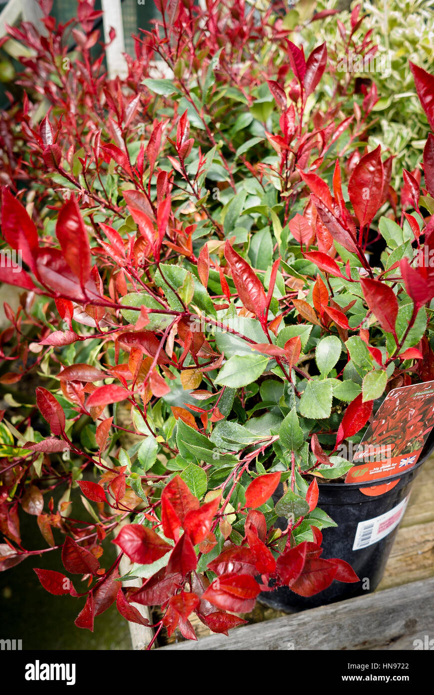 Photinia x fraseri Little Red Robin in a 7.5L pot for sale in a garden centred - Stock Image