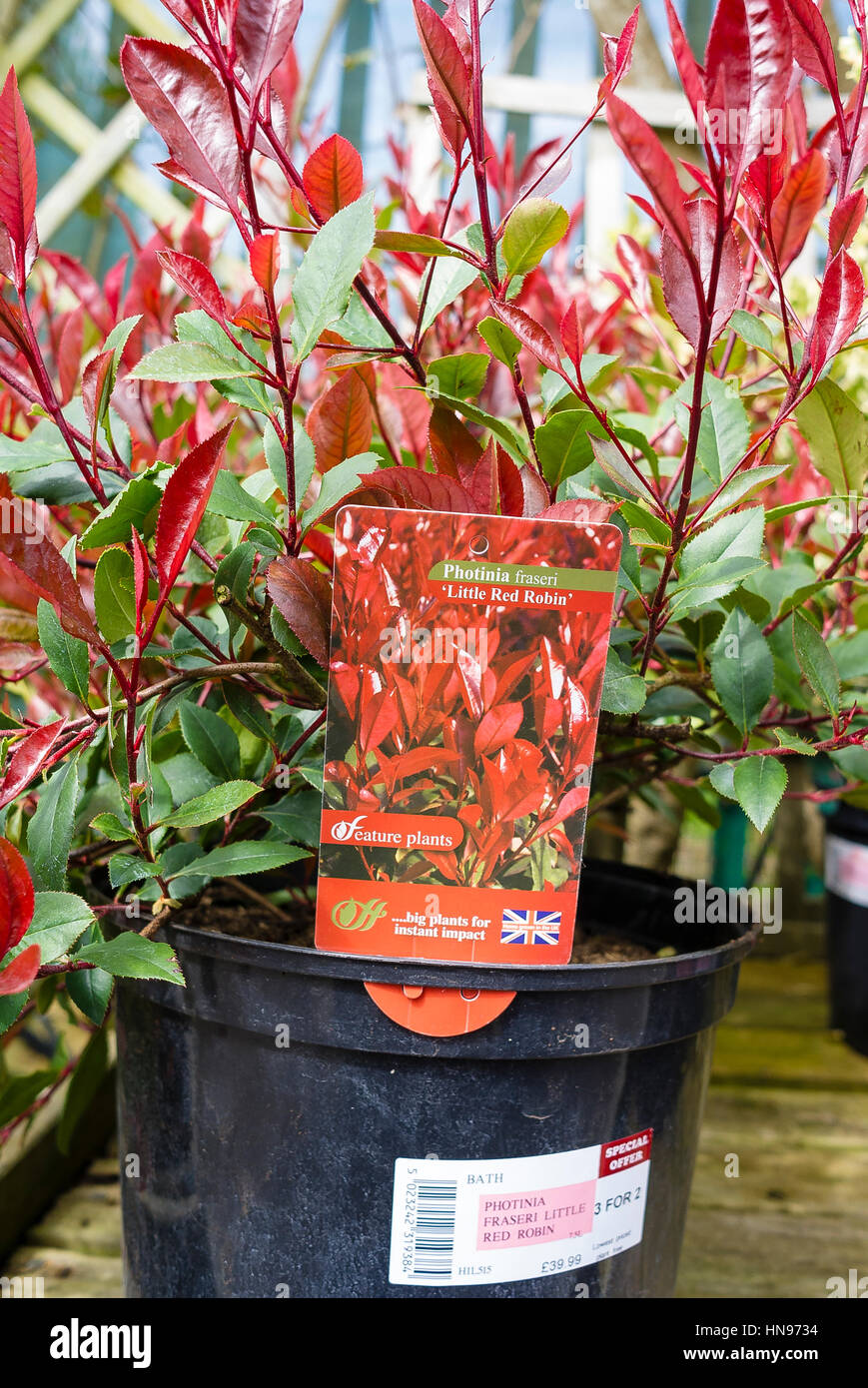 Photinia x fraseri Little Red Robin in a 7.5L pot for sale in a garden centre - Stock Image