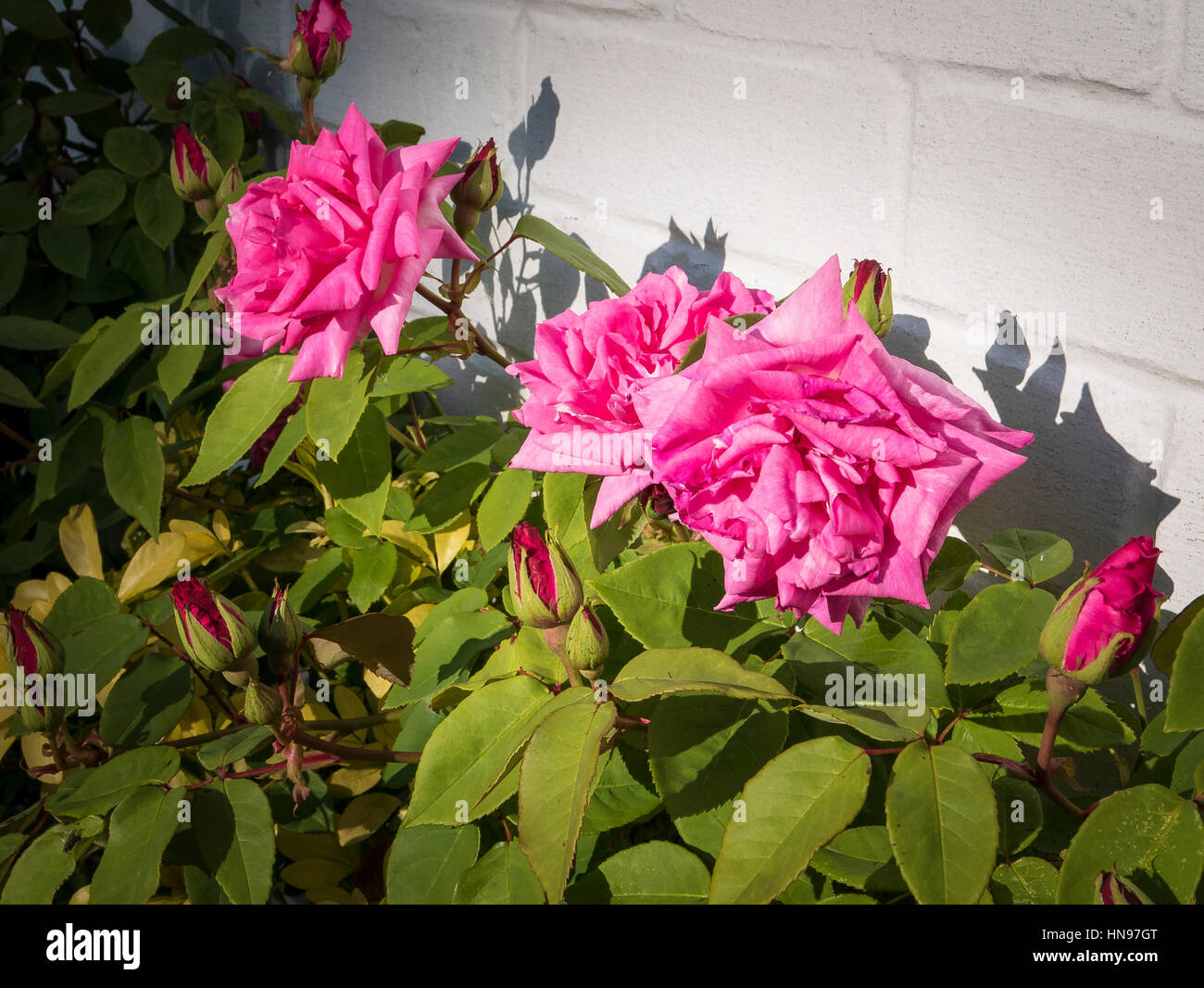 Rosa Zephirine Drouhin in flower in May - Stock Image