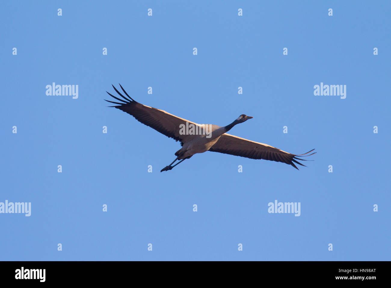 Common Crane / Eurasian Crane (Grus grus) flying against blue sky in autumn - Stock Image