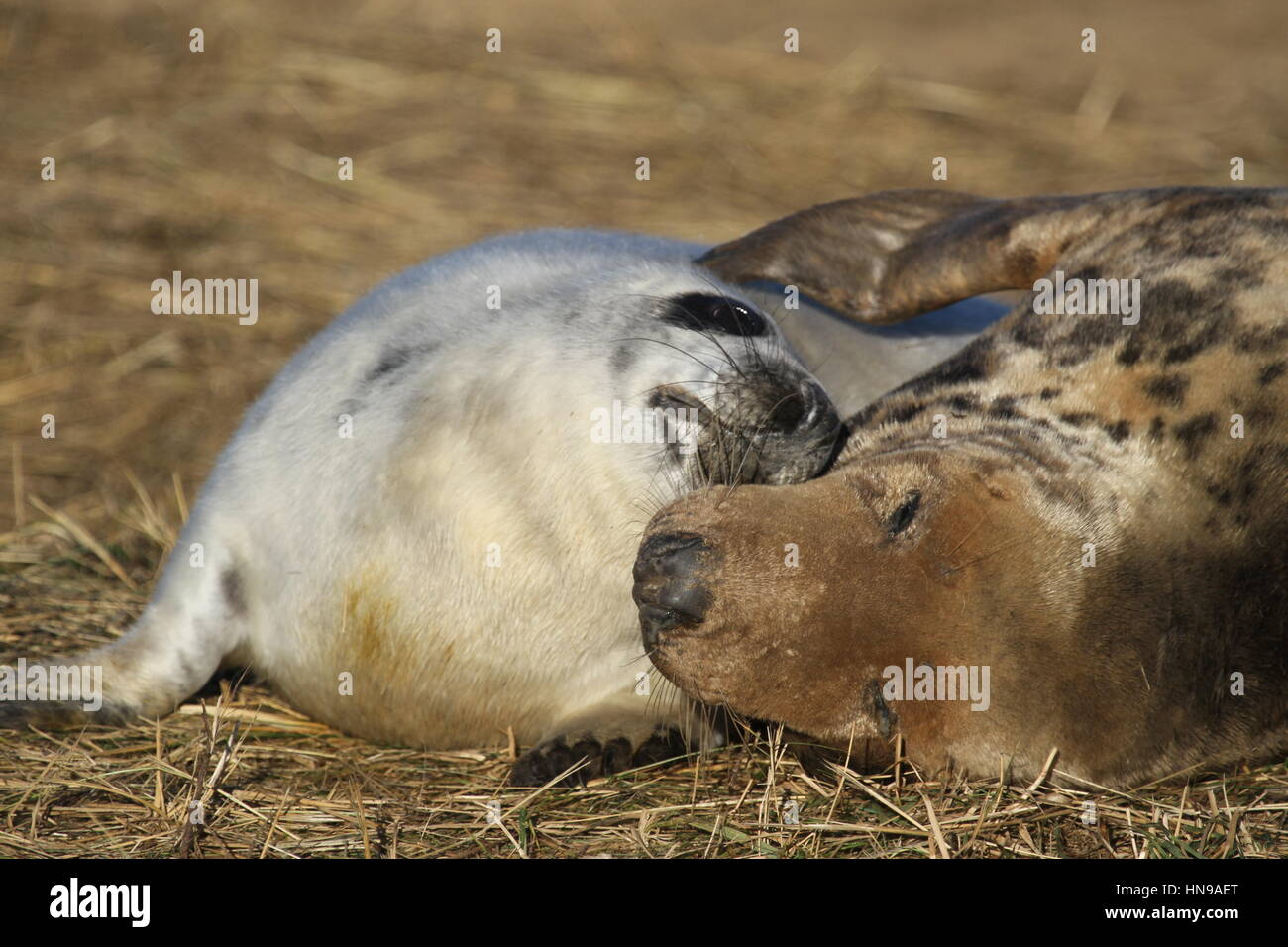 Grey seal mother and pup at Donna Nook - Stock Image
