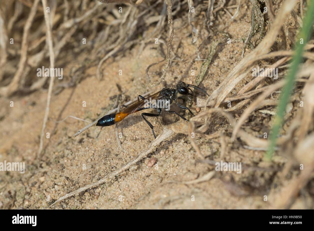 Gemeine Sandwespe, Weibchen, Ammophila sabulosa, Red-banded Sand Wasp, sand digger wasp, female, Grabwespe - Stock Image