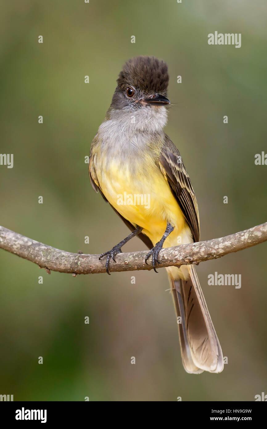 Apical Flycatcher (Myiarchus apicalis), laguna de Sonso, Buga, Valle del Cauca Stock Photo