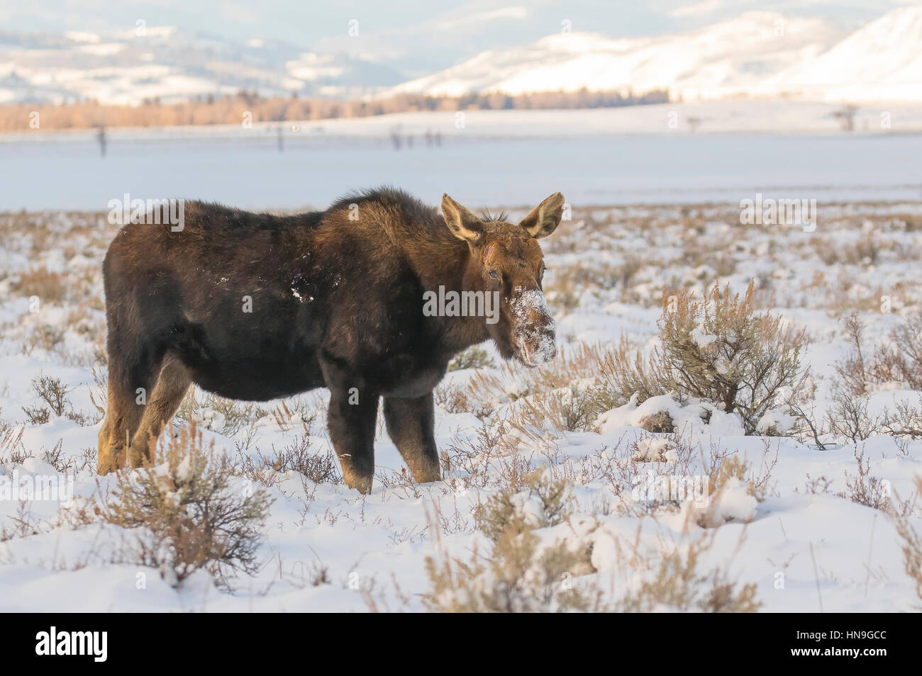 Bull moose that has lost antlers digging in deep snow for food - Stock Image